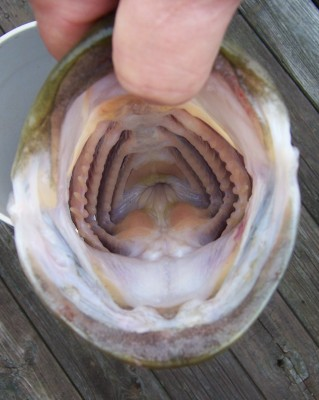 """and this would be why they're named """"large mouth"""""""