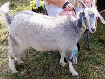 Champion cashmere goat kid (5 months old)
